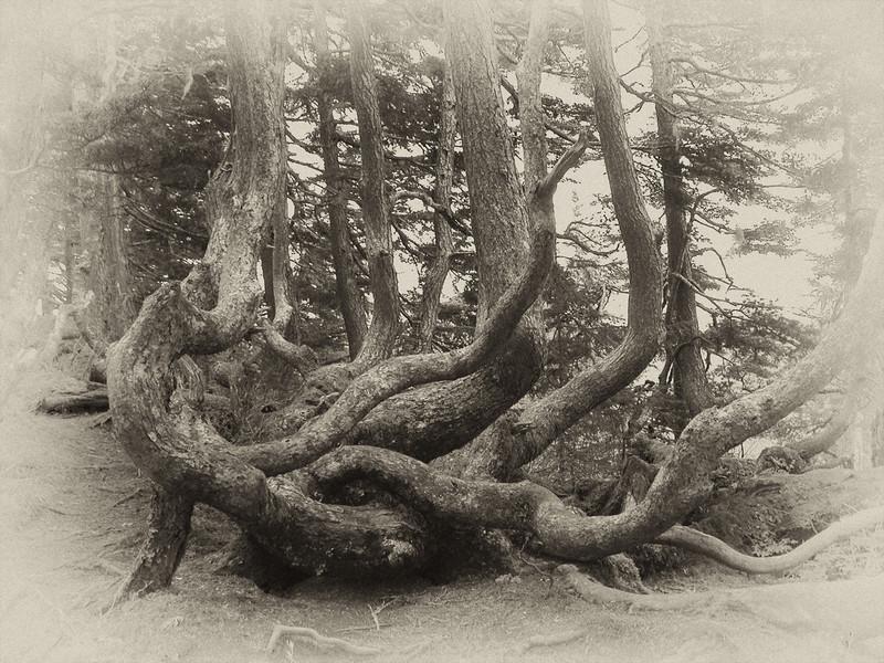 Gnarled Alaskan Pine Tree
