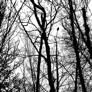 A young eagle perched at the top of a leafless, spindly tree.