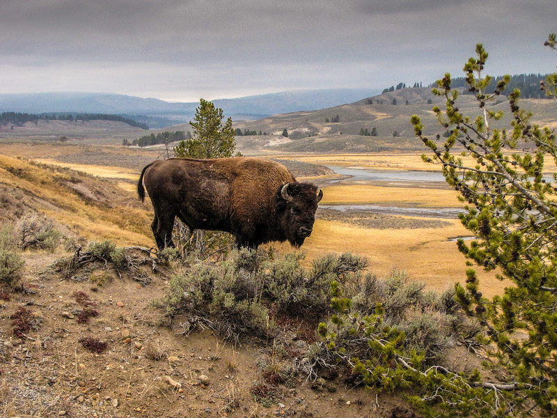 Yellowstone National Park bison.