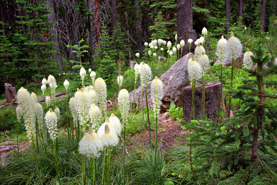 Beargrass on Skalkaho Pass.