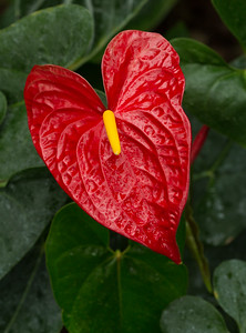 Anthurium Tailflower