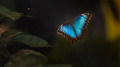 Blue morpho Butterfly on Screen