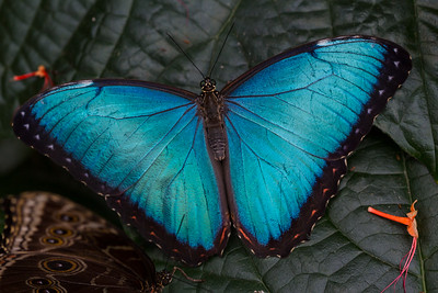 Blue Morpho Butterlfly