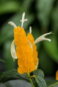 Orange Peel Gladiola