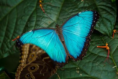 Blue Morpho Butterfly I