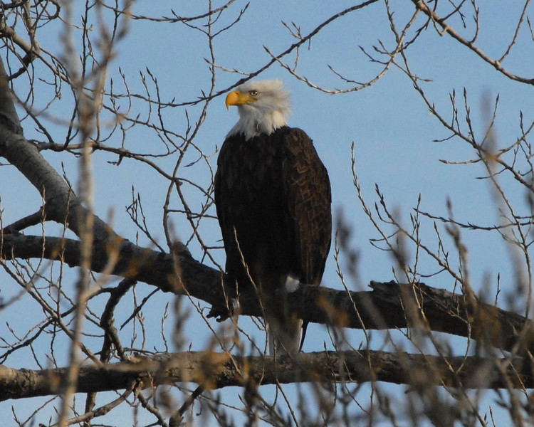 Bald Eagle, Along the Arkansas River, Wichita, Ks. 02/08