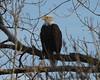 Bald Eagle, Along the Arkansas River, Wichita, Ks. 02/08