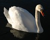 Swan, in a pond near Andover, Ks. 2007