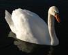Swan, in a pond near Andover, Ks. 2007