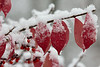 Winged Euonymus in Snow<br /> Monroe, CT<br /> Image #:2724