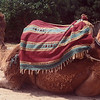 Camels for tourist rides