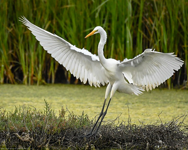 Greater Egret (1 of 1)