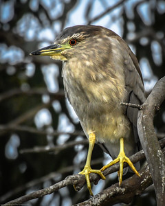 Night Heron-5009007