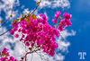 "Pink Bougainvillea<br /> <br /> * I forgot about the pink  day, today so I uploaded 2 photos - one here and one for ""P"" in the randoms :)"