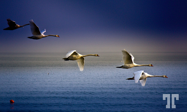Flaying swans on Lake Constanze, Friedrichshafen<br /> <br /> Yesterday I was so, so lucky... I've never thought to see and be able to capture<br /> this kind of image!!! , spring