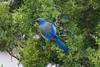 Blue Jay on tree