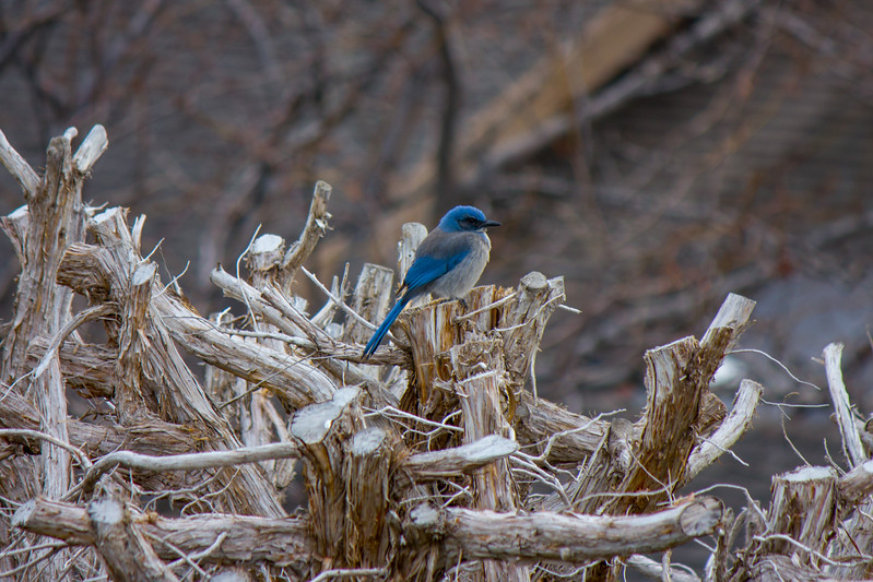 Blue Jay perched on tree