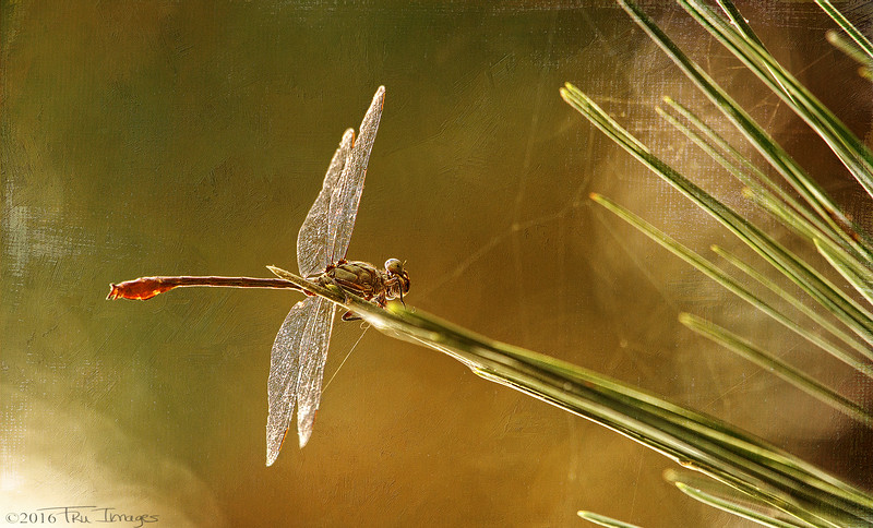 Dragonfly Impressions