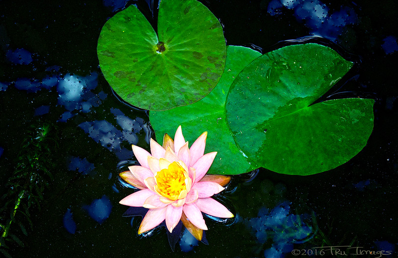 Lily and Pads
