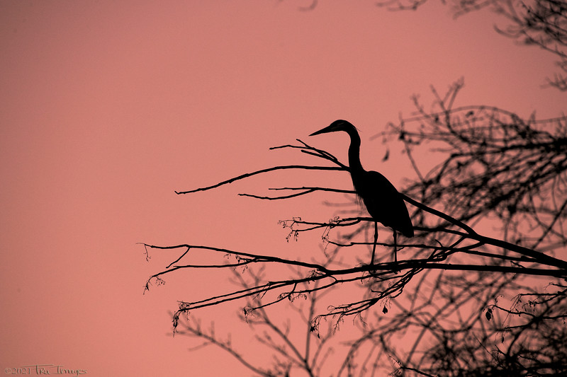 Silhouette of a Heron