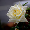 English White Rose<br /> <br /> London, England