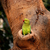 Wild Parakeet<br /> <br /> Delhi, India