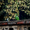 People-Watching Parakeet<br /> <br /> Delhi, India