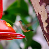 Hummingbird In Flight<br /> <br /> Machu Picchu Village, Peru