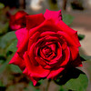 Beautiful Red Rose<br /> <br /> Baroda, India