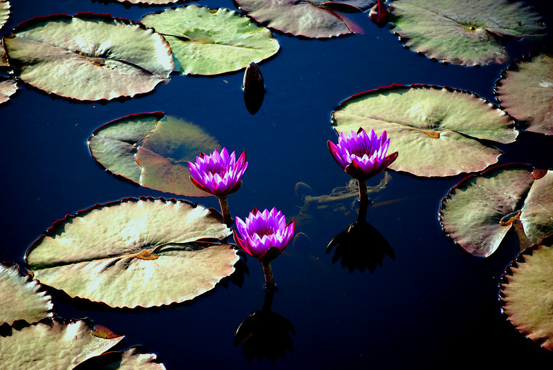 Lotus Flowers<br /> <br /> Udaipur, India
