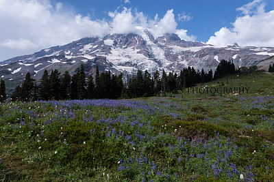 Mount Rainer Paradise Wildflowers and Glaciers