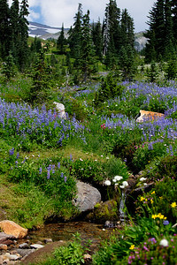 Mount Rainer Paradise Lupines Wildflowers