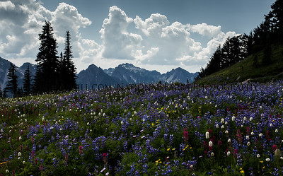 Mount Rainer Paradise Wildflowers and Tatoosh Range