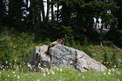Mount Rainer Paradise Marmot Couple