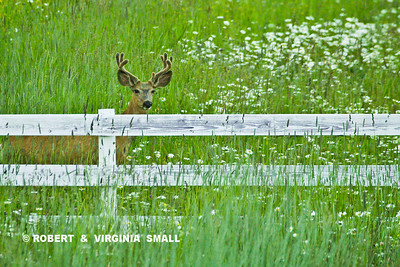 DEER, DAISIES AND A WHITE FENCE