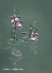RIVER BEAUTY BLOSSOMS REFLECTED