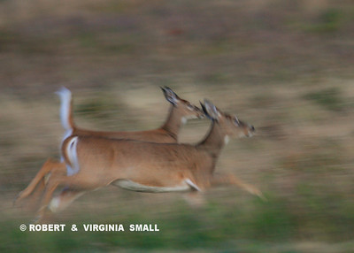 RACING WHITE-TAILED DEER DOES