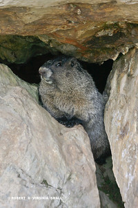 HOARY MARMOT IN ROCK HOME