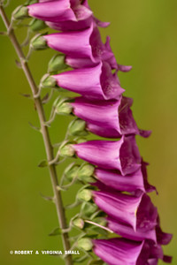 PROFILE VIEW OF LOVELY FOXGLOVE BLOSSOMS . . .