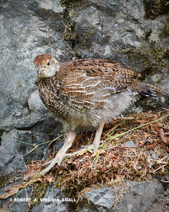IMMATURE BLUE GROUSE