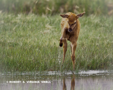 ELK CALF DISCOVERING WATER