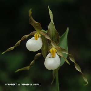 LADY SLIPPER DUET