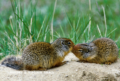 RECOGNITION TOOTH-TOUCHING 'KISS', COLUMBIAN GROUND SQUIRRELS