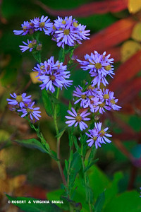 ASTERS AND AUTUMN LEAVES