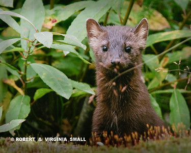 YOUNG, CURIOUS MINK