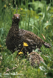 BLUE GROUSE AND CHICK