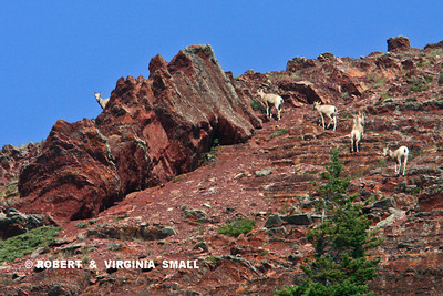 BIGHORN SHEEP ON RED ROCK