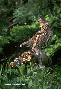 RUFFED GROUSE (Rufous form)