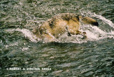 GRAY WOLF DIVING FOR CHUM SALMON