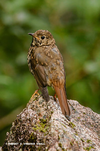 AN IMMATURE HERMIT THRUSH THAT POSED SO GRACIOUSLY AND AT GREAT LENGTH FOR US BY A CREEK WA-A-A-A-Y UP NORTH.